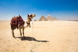 A camel relaxing by the Great Pyramids