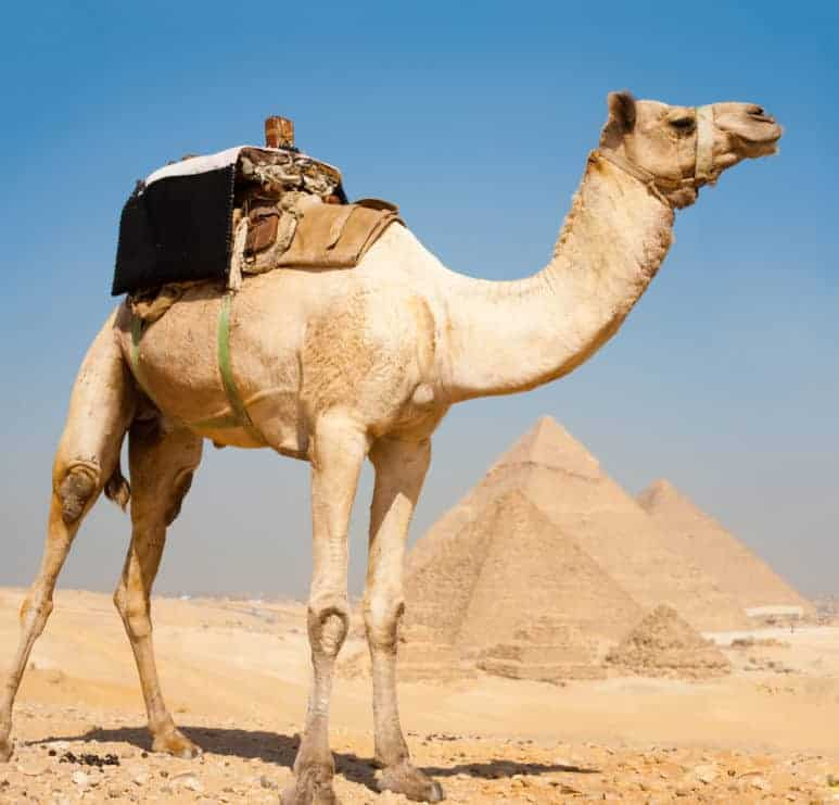 A camel waits patiently in the foreground atop a hill overlooking all three of the Great pyramids of Giza