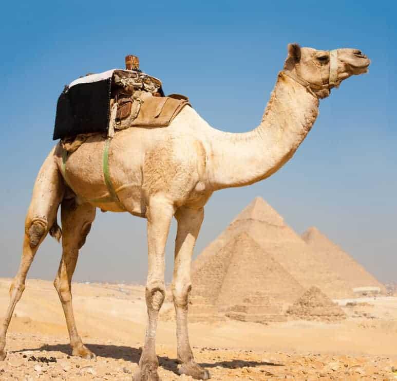A camel by Giza Pyramids